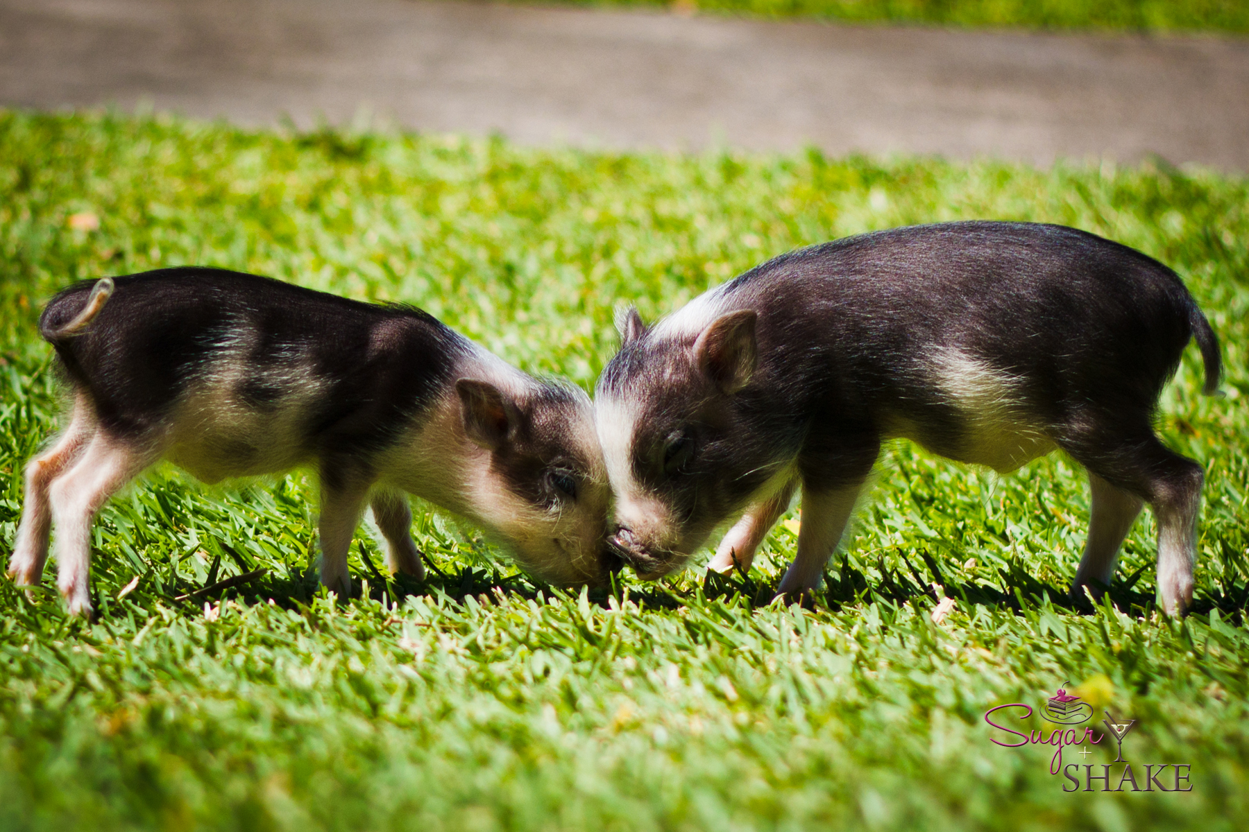Posh piglets. The Ritz-Carlton adopted these teensy guys (gals?) and are raising them in their Jean-Michel Cousteau Ambassadors of the Environment Center. Not to eat, or anything. Just to look cute. © 2012 Sugar + Shake