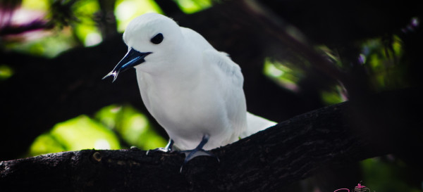 Manu-o-Kū, or white fairy tern, enjoying a snack. © 2014 Sugar + Shake